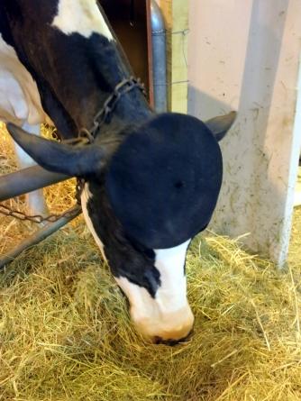 cow beret